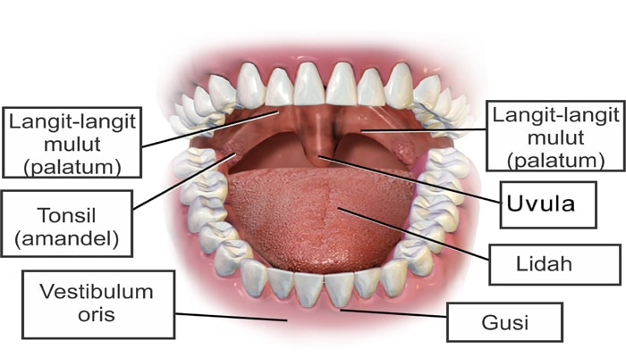 Mulut Pengertian Struktur Bagian Dan Fungsi Mulut Dalam Sistem Pencernaan Manusia Terlengkap Sekolahan Co Id