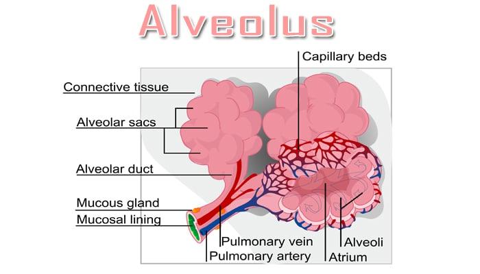 Struktur Paru Paru Pada Manusia Dan Proses Bernapas Pada Alveolus