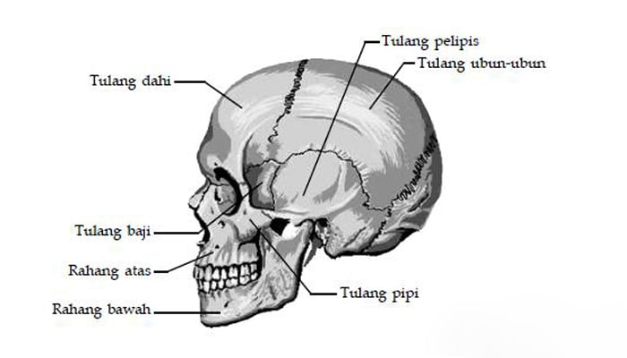 Tulang Pelipis Pengertian Letak Ciri dan Fungsi Tulang