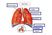 Fungsi Organ Bronkus