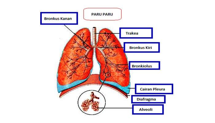 Bronkus Pengertian Struktur Bagian Fungsi Gangguan Dan Penyakit Pada Bronkus Lengkap Sekolahan Co Id